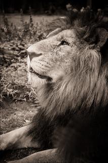 Simba - Un Regard de Lion