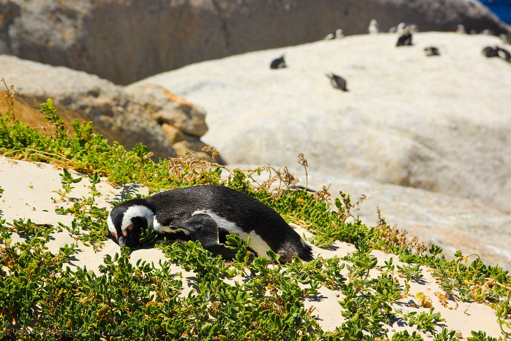 African Penguins! [16]