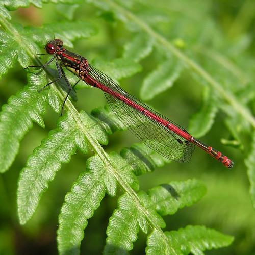 Pyrrhosoma nymphula - Large Red Damselfly - Agrion au corps de feu ou  Petite nymphe au corps de feu - 28/05/12