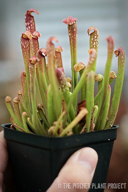 """Sarracenia minor var. okefenokeensis x """"Green Monster"""""""