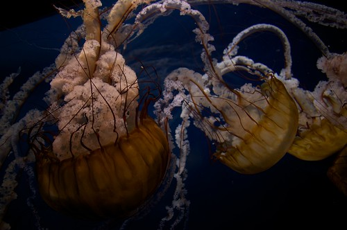 Nettle fish