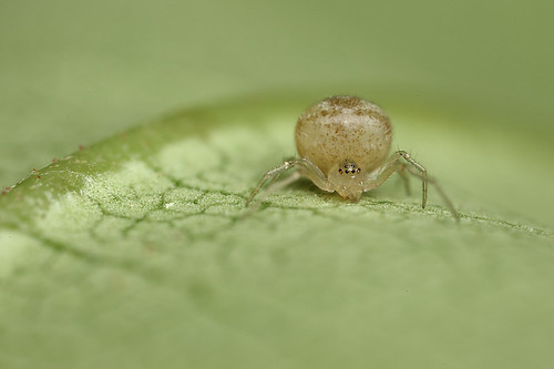 Egg on legs - a tiny spider #1