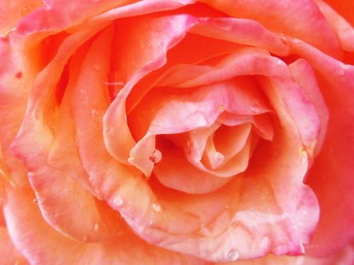 Wet Rose Petals