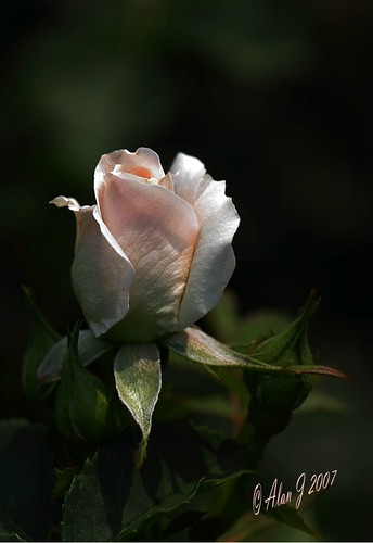 ny newyork flower rose canon 7d upstatenewyork thegalaxy centralparkschenectady mygearandme ringexcellence 100mmmacrof28lisusm