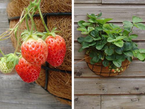 Aardbeienplanten in de tuin