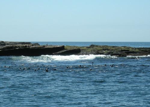 Gray Seals - Mount Desert Rock