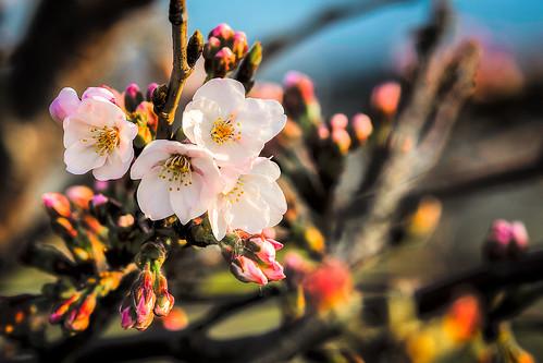 japan cheery blossom sigma sakura yamaguchi 28 70200 iwakuni 2014 さくら d7100 由宇町