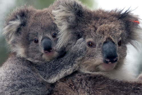 Koalas - mum and baby