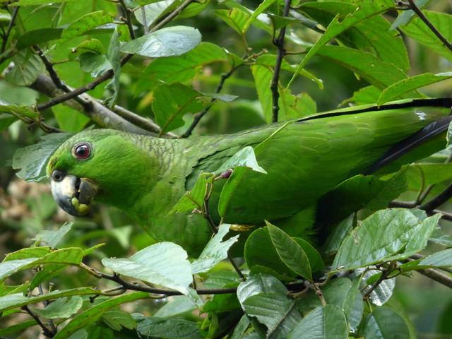Header of Amazona mercenaria