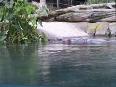 Hippopotamus 2