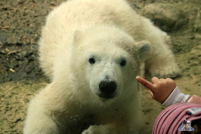 Eisbär Lili im Zoo am Meer Bremerhaven 14.05.2016 Teil 2 021