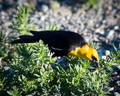 Bear River Bird Refuge May 2016