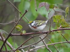 Chestnut-sided Warbler/ Magee Marsh/ 5-14-2016