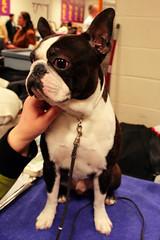 Training english bulldog, Boston Terrier