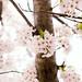 cherry blossoms by ccandumplins
