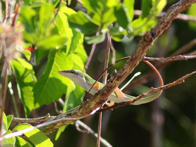 Green Anole 20120409