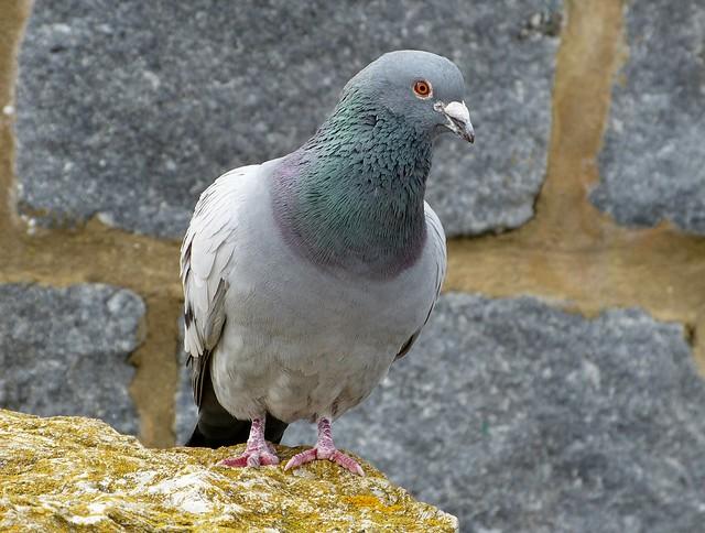 25836 - Feral Pigeon, Lyme Regis