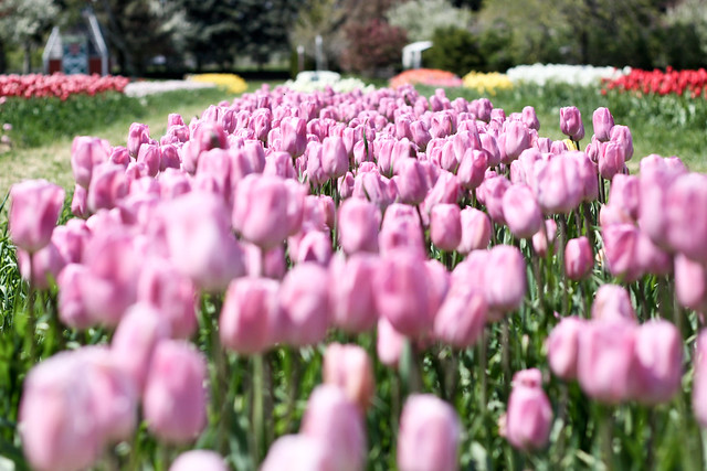 tulips more-7