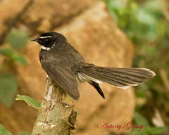 White Throated (Spotted) Fantail