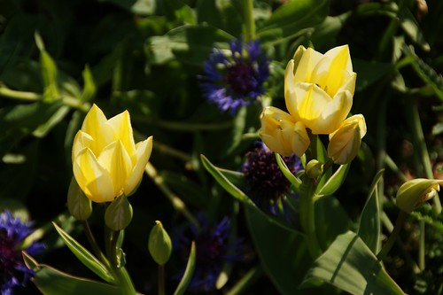 Tulips in our garden by PhylB