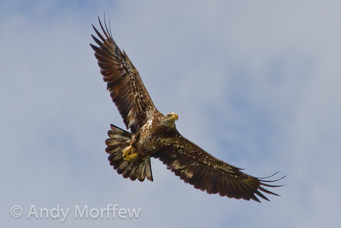 eagle florida bald bif circling venicerookery birdperfect blinkagain andymorffew morffew