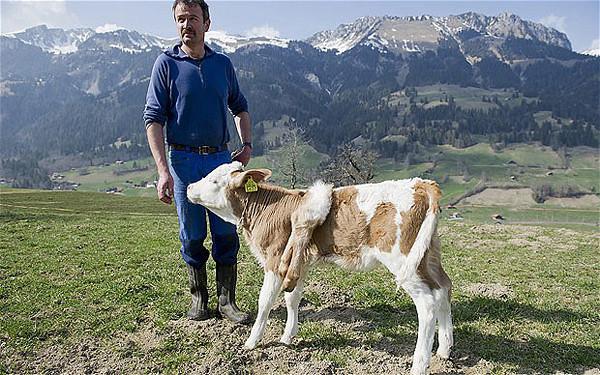 瑞士畸形小牛長出6條腿