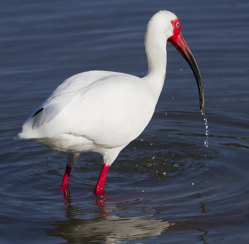 White Ibis by Ricky L. Jones Photography
