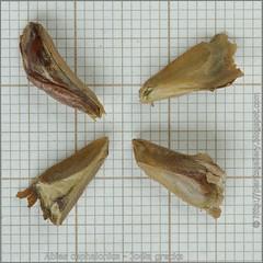 Abies cephalonica seeds - Jodła grecka nasiona