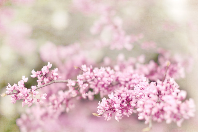 soft blossoms4