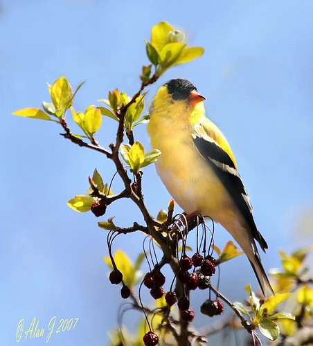 American Goldfinch by alanj2007