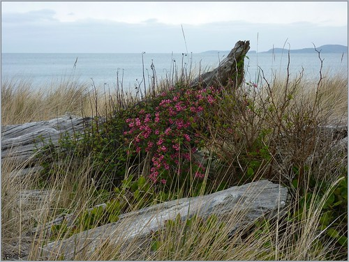 Beached Wild Currant
