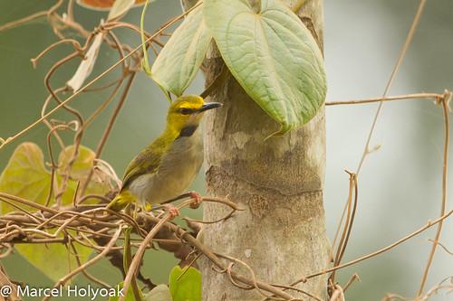 birds cameroon littoral oldworldwarblers sanagariver camaropterasuperciliaris yellowbrowedcamaroptera