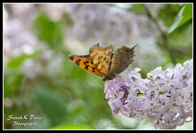 Butterly on Lilacs