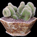 Parodia crest in hexagonal pot