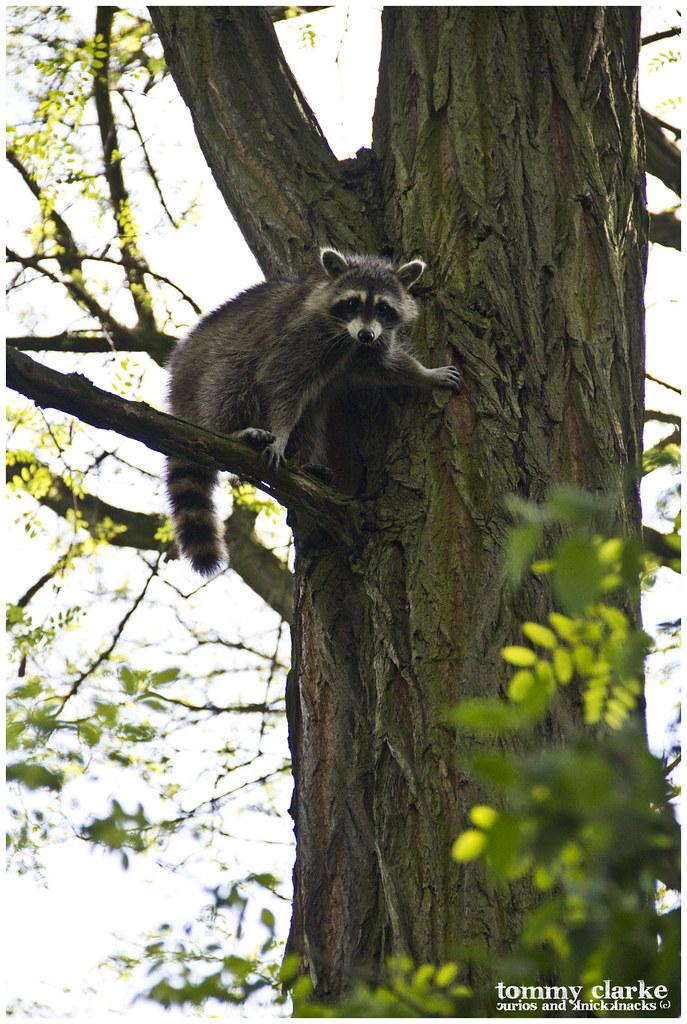 looking raccoon