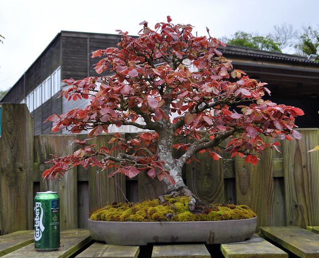 Fagus Sylvatica Purpurea Bonsai fagus sylvatica purpurea