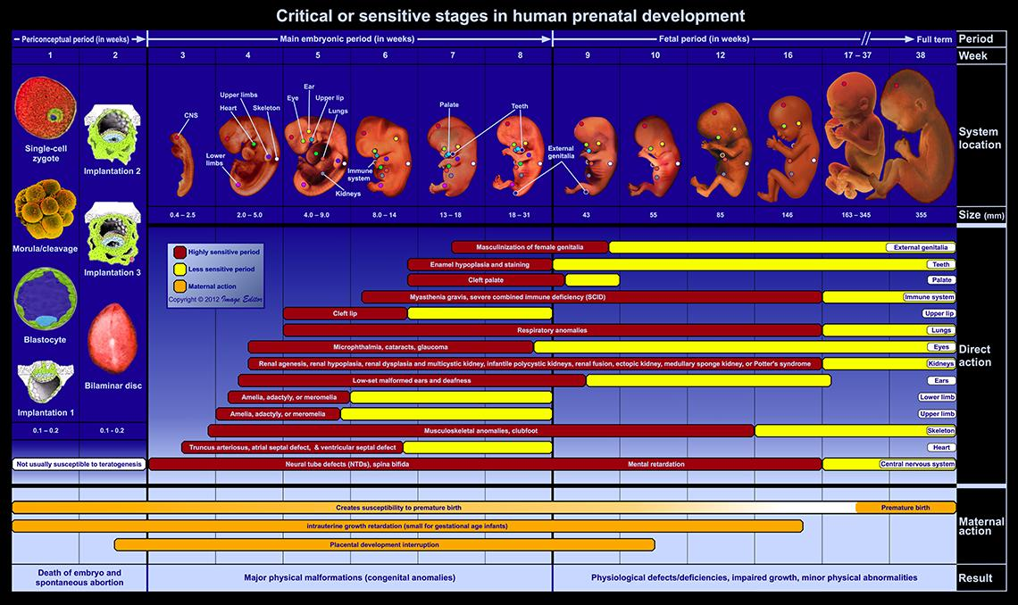 Chart of critical periods of human development