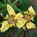 Small photo of Iridaceae