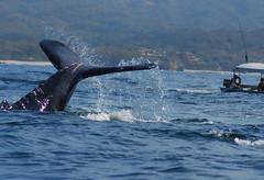 animal, marine mammal, whale, sea, marine biology, wind wave,