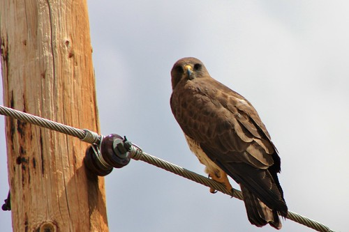 Hawk on a wire looking back
