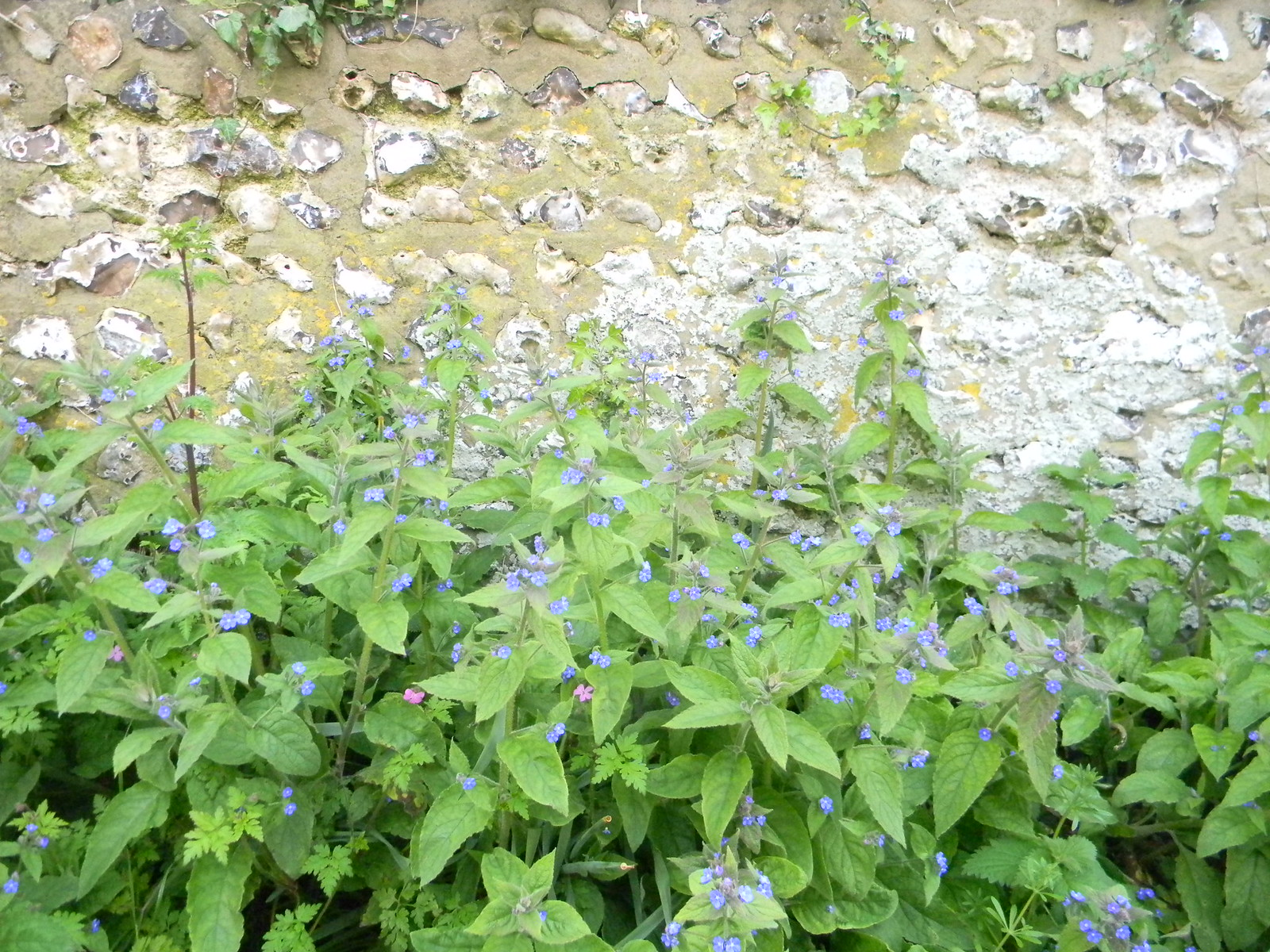 Green Alkanet near Jevington Berwick to Birling Gap