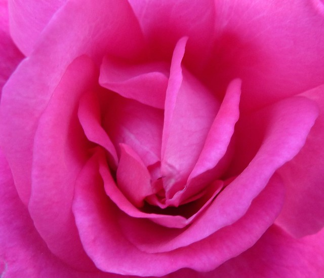 Pink Rose ~ Ready for its close-up!