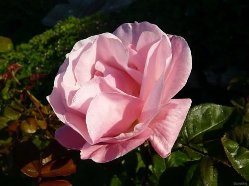 Je suis la rosée née de la pluie