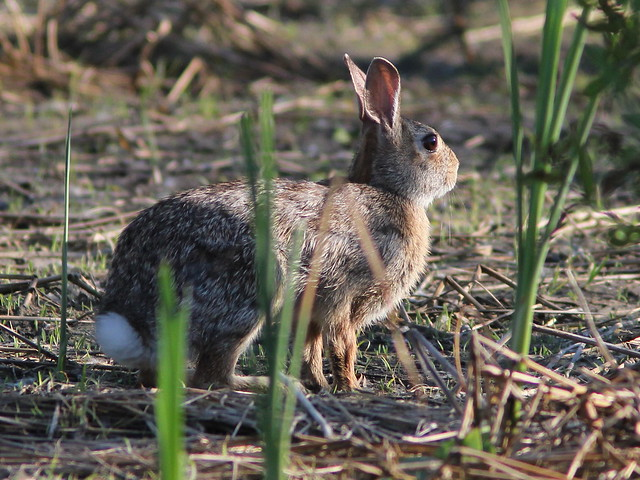 Cottontail Rabbit 20120525