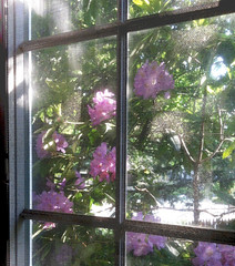 Pink Rhododendrons Through the Window (Posterized Photo) by randubnick