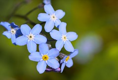 flower, nature, lilac, flora, forget-me-not, close-up, blue, petal,