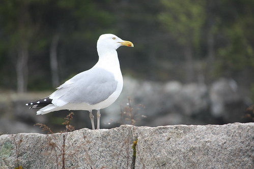 Sea Gull Profile