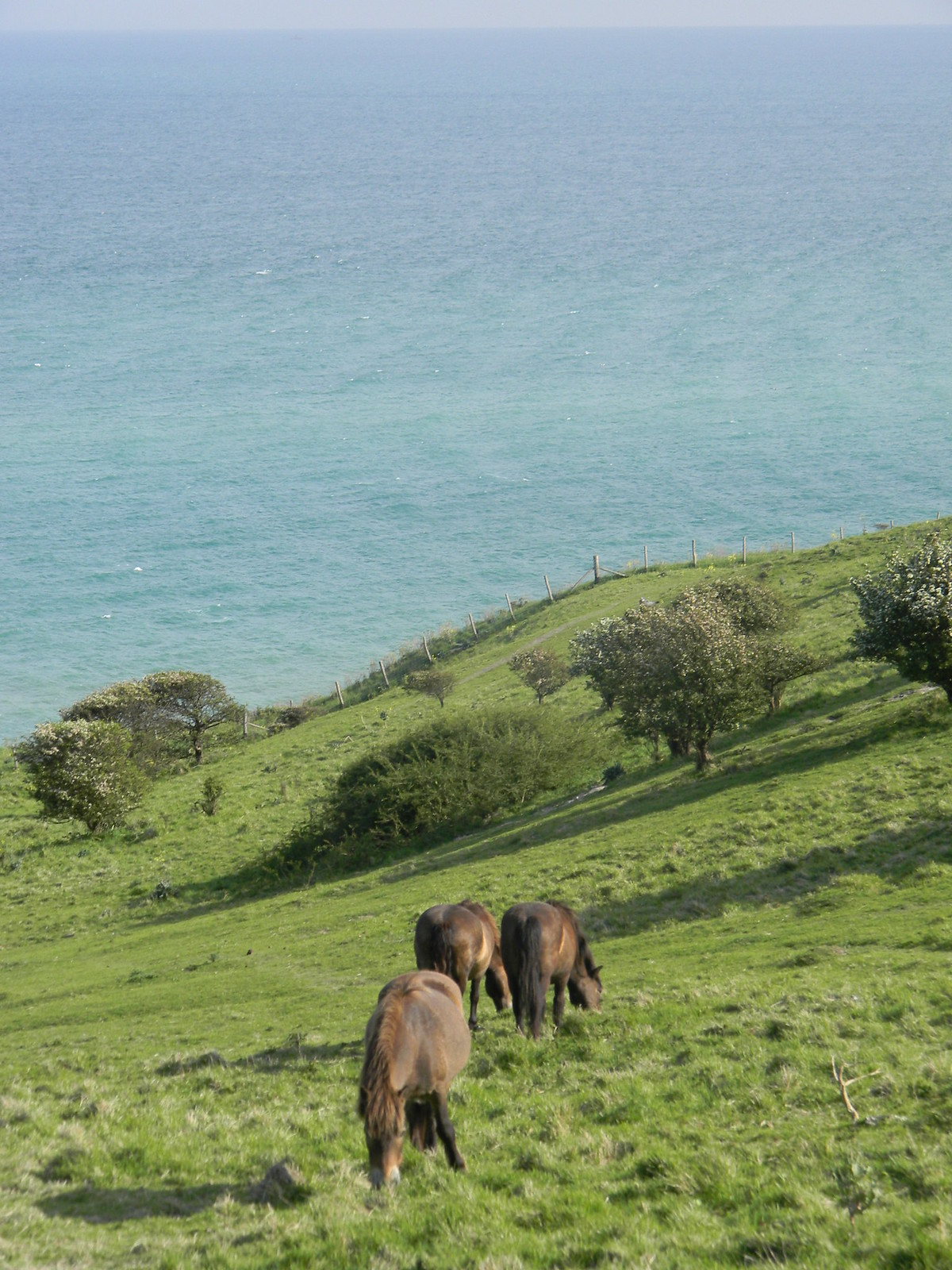 Horses grazing the clifftop Deal to Dover But not the Konik horses I thought they were, www.flickr.com/photos/wellfedmanwalking/5771390451/in/photostream/ www.flickr.com/photos/wellfedmanwalking/5771390451/in/pho... Theyre more inland.