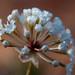 Small photo of Sand verbena (Abronia fragrans)