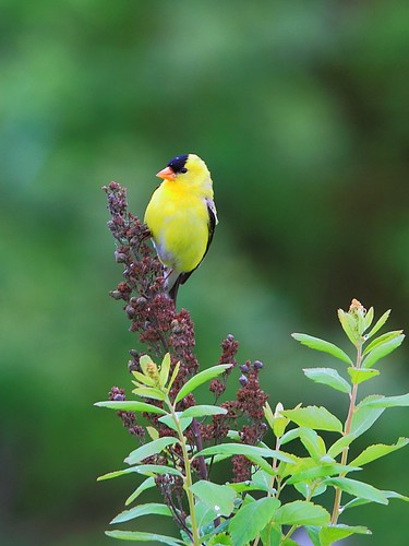 American Goldfinch by tony y. h. tong